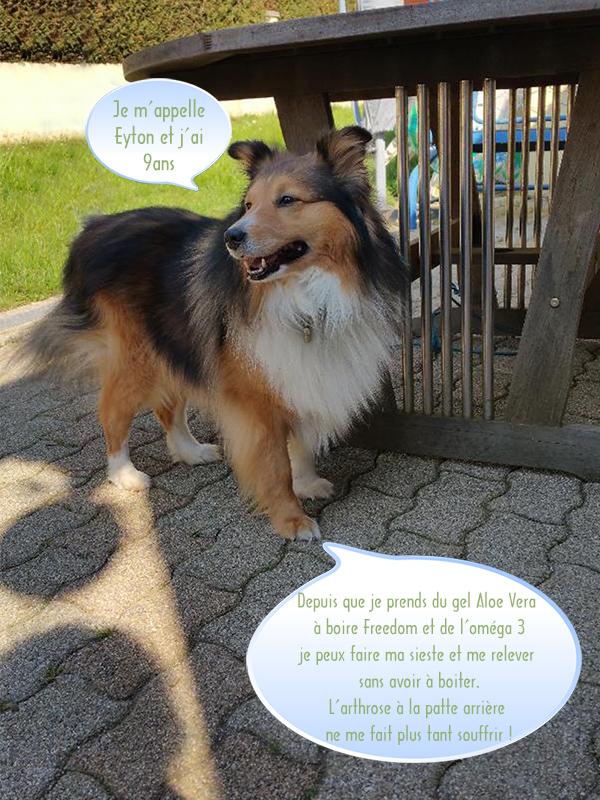 Témoignage soin animal à l'Aloe Vera - Eyton chien berger des Shetland