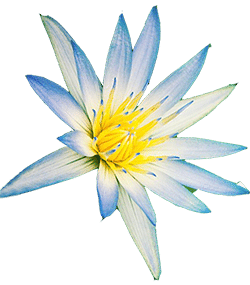 "extrait de fleur de lotus bleu ""Nymphaea Caerulea Flower"" dans le sérum LR Blue Light Defender"